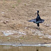 Small photo of African Openbill (Anastomus lamelligerus)