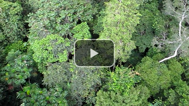 What the Amazon canopy looks and sounds like, top side.