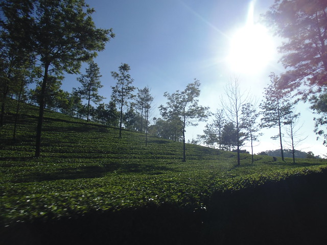 Tea Gardens en route to Eravikulam Nationa Park, Munnar