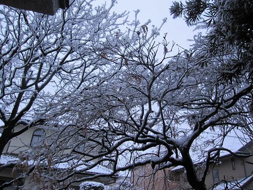 もみじの木に積もった雪  2014.2.4 by Poran111