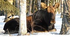 cattle-like mammal(1.0), winter(1.0), moose(1.0), fauna(1.0), wildlife(1.0),