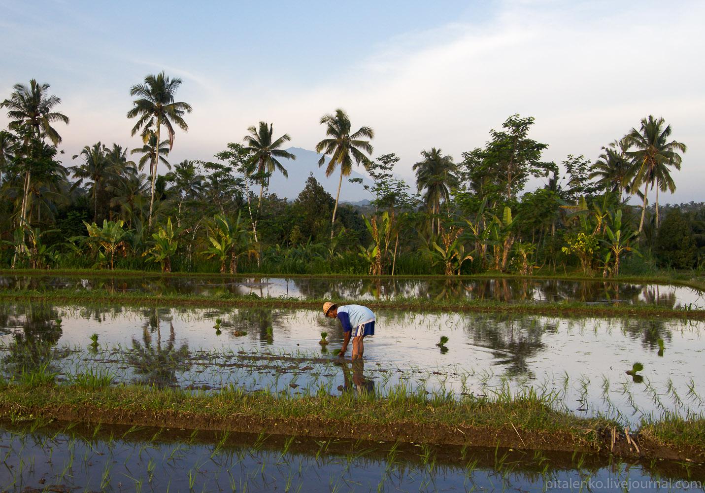 Рисовые террасы острова Бали