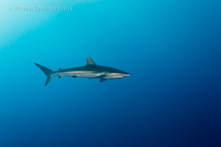 Galapagos Shark at Clipperton Island