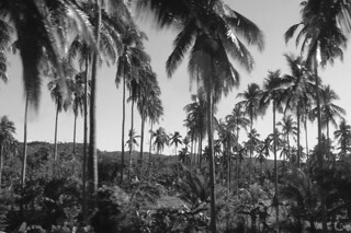 Kalibo - Countryside coconuts