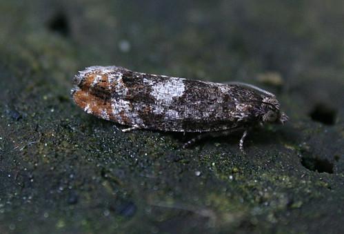 Epinotia rubiginosana Tophill Low NR, East Yorkshire May 2014