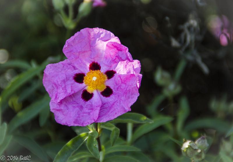 133/365 Pretty Primrose
