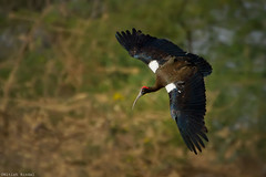 Red Naped Ibis in Flight.