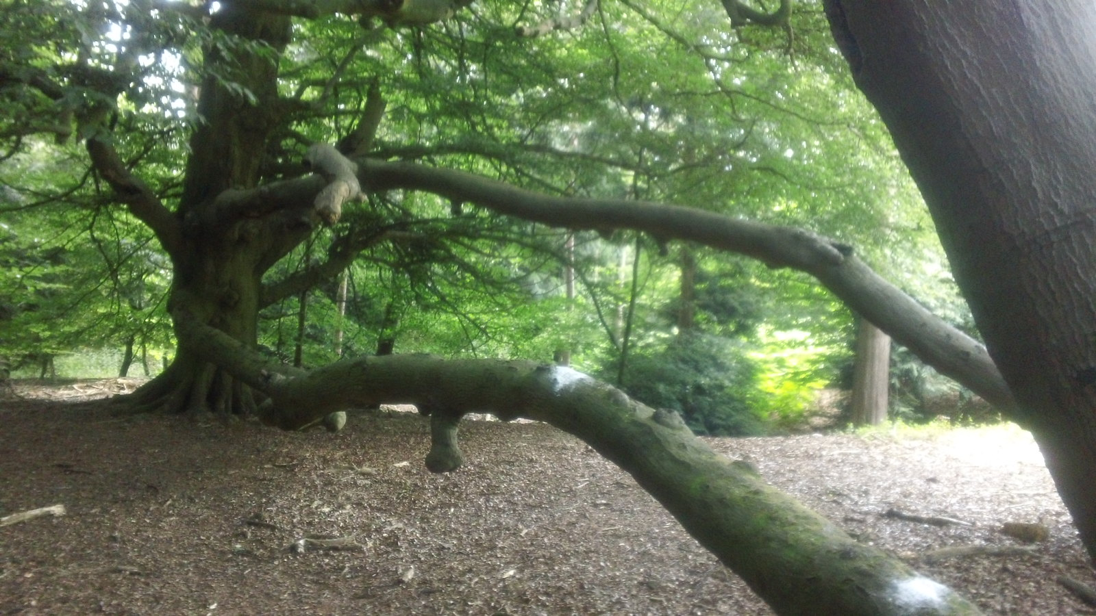2 beech trees: same branch (or root)! along the North Downs Way between Newlands visitor centre and Horsley, Surrey