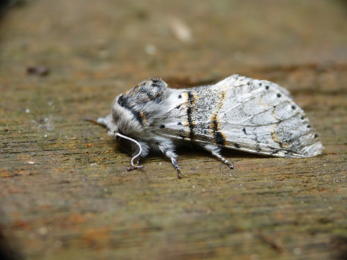 Poplar Kitten Furcula bifida Tophill Low NR, East Yorkshire June 2014