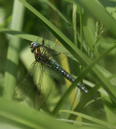 Hairy Dragonfly Brachytron pratense Tophill Low NR, East Yorkshire June 2014