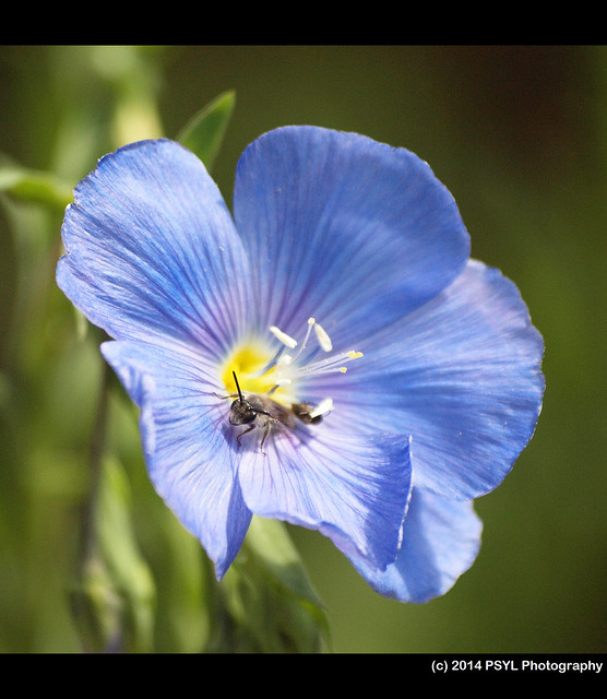 Blue flax (Linum lewisii) with a resting mining bee (family Andrenidae)