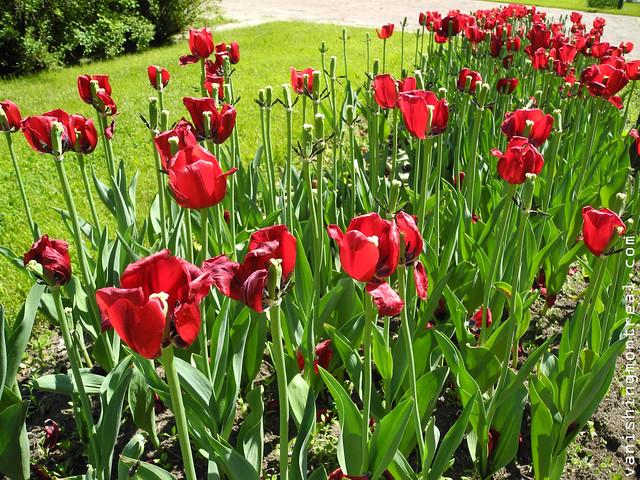 tulips (old planeterium)