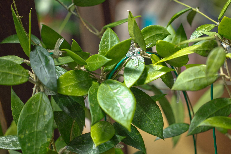 sp. Bogor, acuta IML 0079, pallida