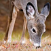 White-tailed Deer by Doug Currie Photography