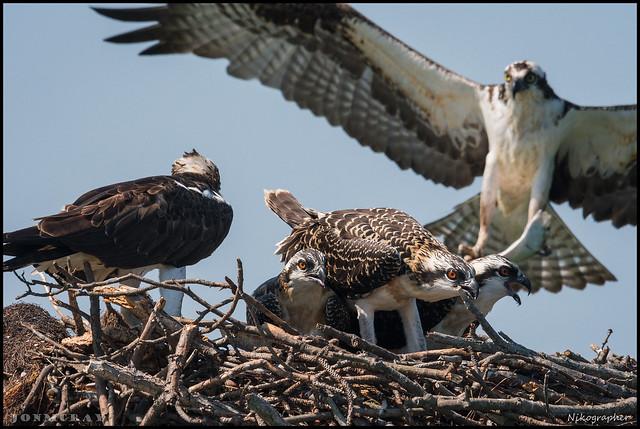 Osprey Family @ St. Michaels, Maryland