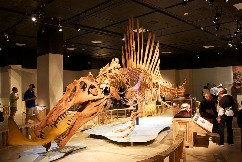 Reconstructed Spinosaurus skeleton at the National Geographic Museum in Washington, D.C.