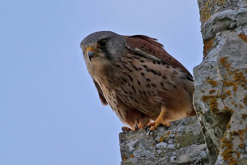 Kestrel male  (1)