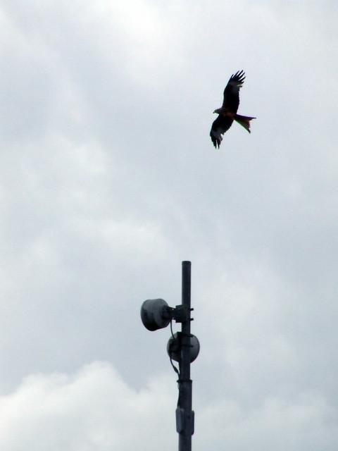 red kite over Brill