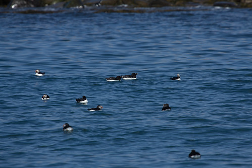 Razorbills and puffins off Machias Seal Island