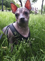dog breed, animal, dog, pet, mammal, mexican hairless dog,