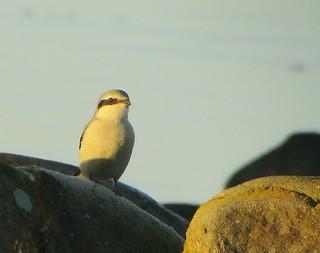 Varfågel / Great Grey Shrike