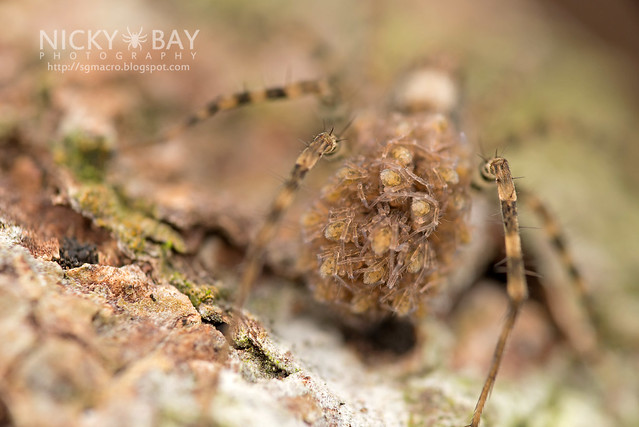 Wolf Spider (Lycosidae) - DSC_1484