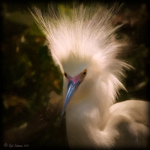 Image of a Snowy Egret from the St. Augustine Alligator Farm