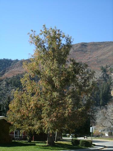 champion tree, dawn redwood 10.23.13