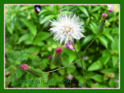 (Cupid's Shaving Brush, Lilac Tasselflower, Flora's Paintbrush)