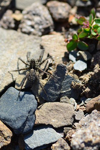 <p><i>Pardosa</i>, Lycosidae<br /> Whistlers, Jasper National Park, Alberta, Canada<br /> Nikon D5100, 105 mm f/2.8<br /> July 8, 2012</p>