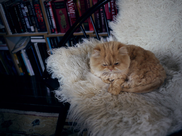 Persian cat on floktaki rug
