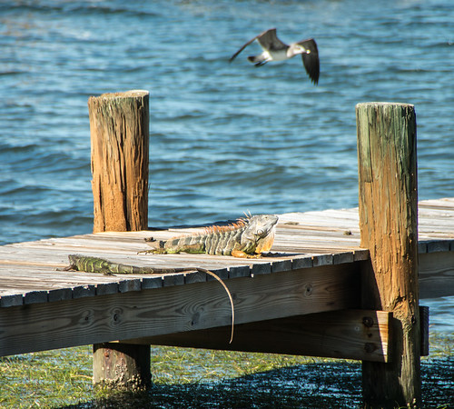 iguanas hanging out on the dock