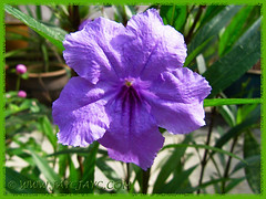 Ruellia simplex 'Purple Showers' or R. tweediana/brittoniana (Britton's Wild Petunia, Mexican Petunia/Bluebell) in our garden, 10 Dec 2013