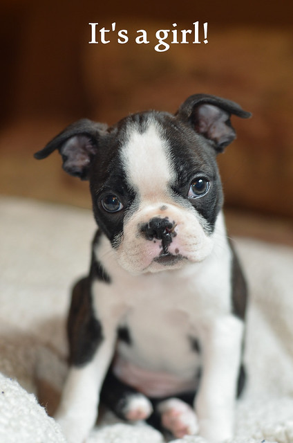 A very cute Boston Terrier puppy.