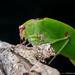 Tettigoniidae by Techuser
