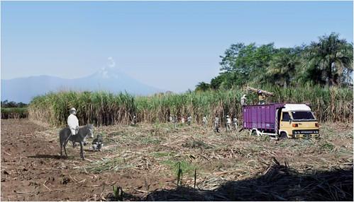 AbednegoTrianto - Sugar Cane Harvesting at the Base of Mount Semeru ( 2013)