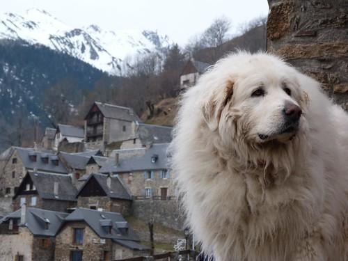 Mastín del Pirineo en Soulan (Francia)