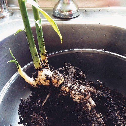 I grew ginger! #growyourown #windowsillgardening #vsco #vscocam