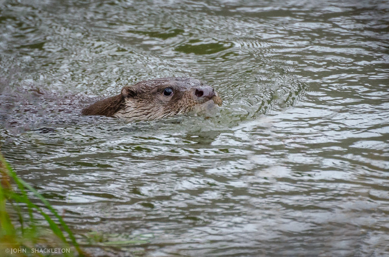 Otter / Nutria (Lutra lutra)