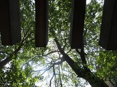 Big tree beyond trellis