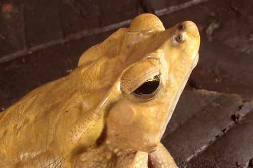 <i>Rhinella dapsilis</i> Sapo magnífico ♂