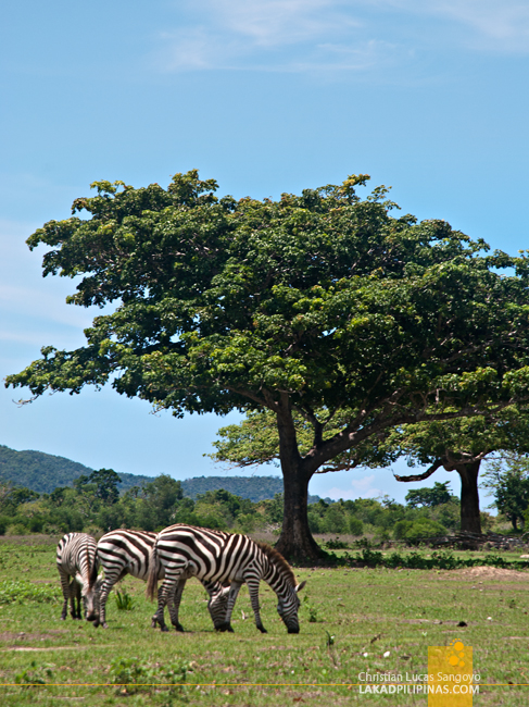Zebras at the Calauit Safari Park in Palawan