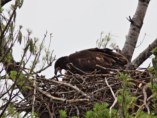 Bald Eagle juvenile 20140705