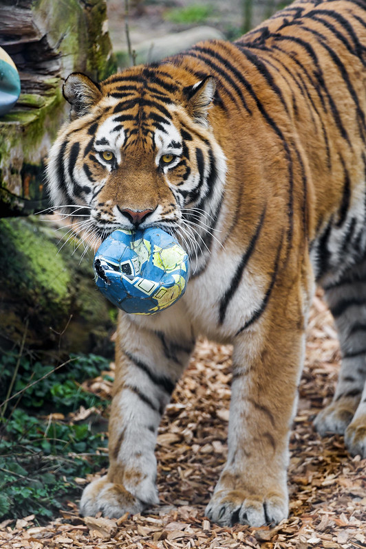 A tiger and his ball