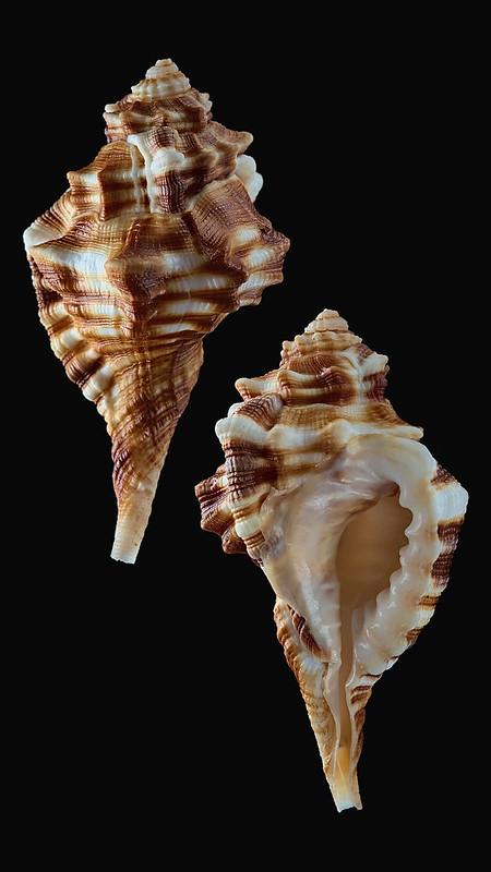 Ranularia trilineata (Reeve, 1844)