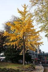 Gingko @ Elisengarten Aachen