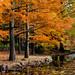 Dawn Redwood @Jindai Botanical Gardens, Tokyo, Japan by Yoshihiro Ogawa