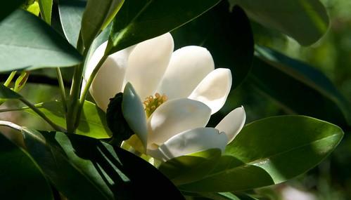 Magnolia virginiana var australis 'Henry Hicks' Sw S03870 A 6-15-13 9017 lo-res