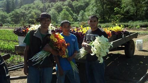 calla lily harvest