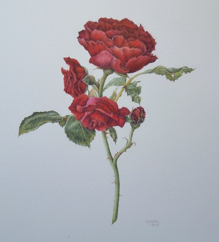 "rosa ""Cadenza"" (aka ""Annie's Red"") by Art by Cheryl"